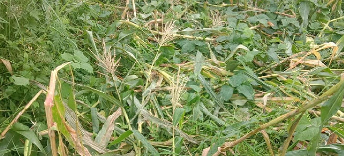 दैलेखमा बँदेलले मकैबाली नष्ट पार्दा, पिरमा परे किसान